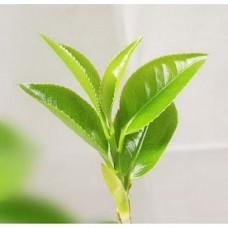 Green tea absolute 5percent