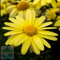 Arnica Flower Hydrosol Water