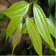 Cinnamomum Subavenium Extract