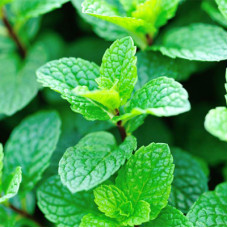 Fresh Mint Fragrance Oil
