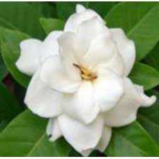 Gardenia Flower Absolute Oil