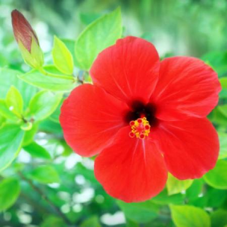 Hibiscus Flower Oil
