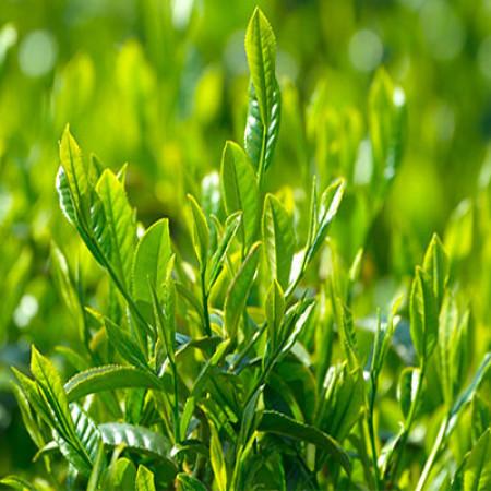 Matcha Green Tea Herbal Oil