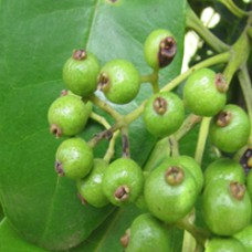 Allspice Essential Oil (GRENADA)