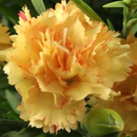 Carnation Absolute Oil (Egypt)