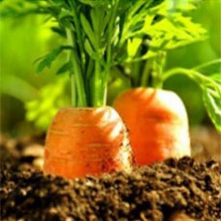 Carrot Seed Oil Virgin (USA)