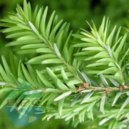 Cedar Wood Essential Oil (Morocco)