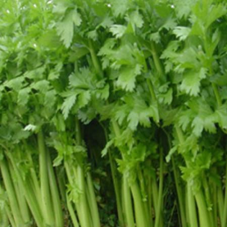 Celery Seed Essential Oil (Hungary)