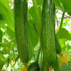 Cucumber Seed Oil (CHILE)