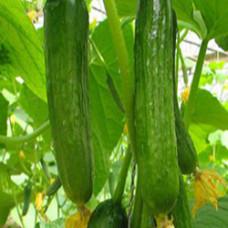 Cucumber Hydrosol Water (CANADA)