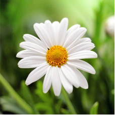 Chamomile Essential Oil German (Hungary)