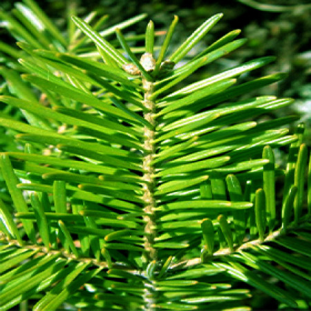 Fir Balsam Essential Oil (Canada)