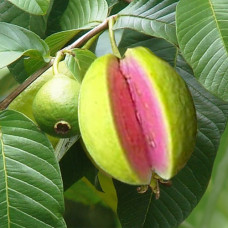 Guava Seed Oil Virgin