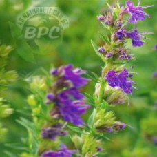 Hyssop Essential Oil ORGANIC