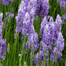 Lavender Herbal Oil (CANADA)