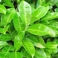 Laurel Leaf Essential Oil (Spain)