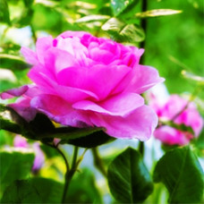 Rose Garden Fragrant Oil