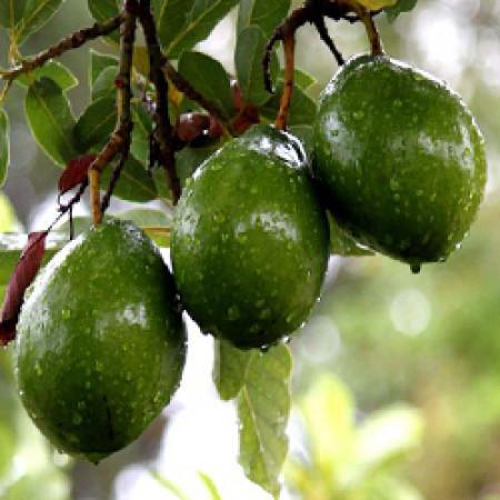 Avocado Oil Refined