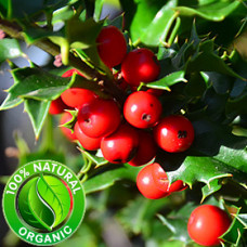 Wintergreen Essential Oil ORGANIC