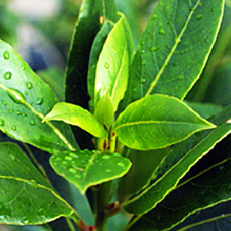 Bay Leaf Essential Oil (Morocco) ORGANIC
