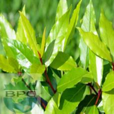 Bay Laurel Leaf Hydrosol (CANADA)