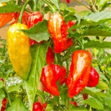 Capsicum Essential Oil (India)