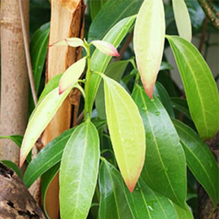 Cinnamon Macerated Herbal Oil ORGANIC