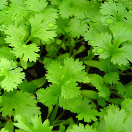 Coriander Floral Water (RUSSIA)