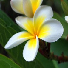Frangipani Absolute Five Percent
