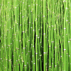Horsetail Oil