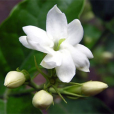 Jasmine Gradiflorum Absolute (India)