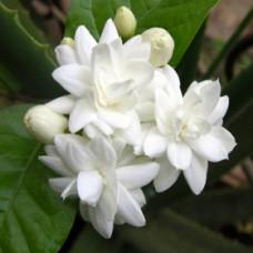 Jasmine Grandiflorum Natural Blend Oil