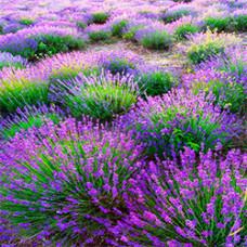 Lavender Hydrosol Organic (CANADA)