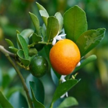 Blood Orange Essential Oil (Italy)