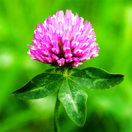 Red Clover Top Oil