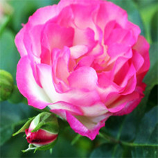 Rose Otto Essential Oil (Bulgarian)
