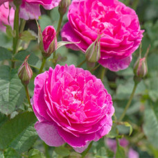 Rose Absolute Oil RCO