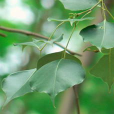 Rosewood Leaf Essential Oil