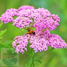 Yarrow Flower Hydrosol ORGANIC