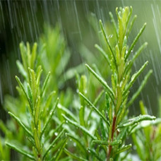 Rosemary Antioxidant