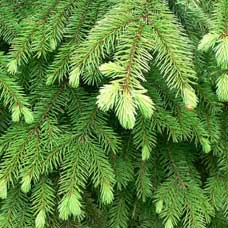 Spruce Essential Oil (Hemlock)
