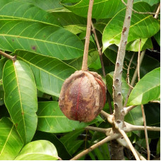 Andiroba Seed Oil Virgin