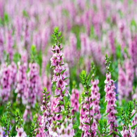 Clary Sage Essential Oil (Bulgaria)