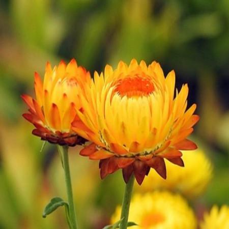 Helichrysum Floral Water