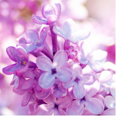 Lilac Love Fragrant Oil