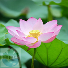 Lotus Pink Hydrosol (INDIA)