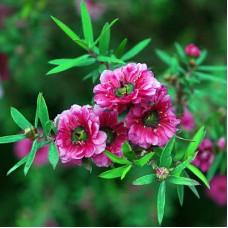 Manuka Floral Water
