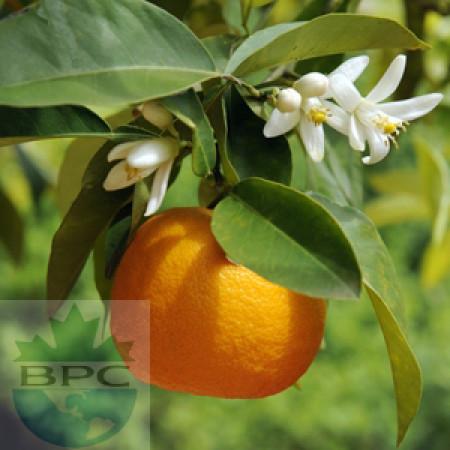 Neroli Hydrosol Organic (CANADA)