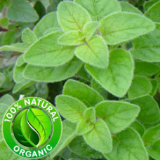 Oregano Macerated Herbal Oil ORGANIC
