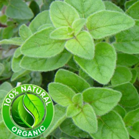Oregano Macerated Herbal Oil ORGANIC